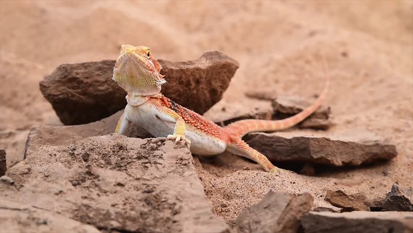 Bearded dragon. on the desert