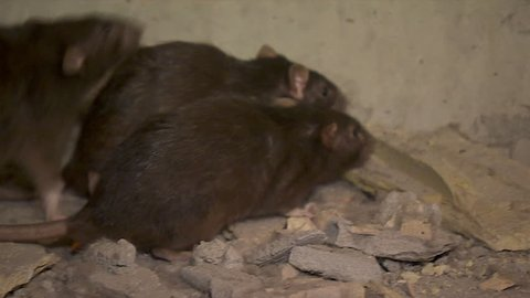 Black Rats Run In The Cave