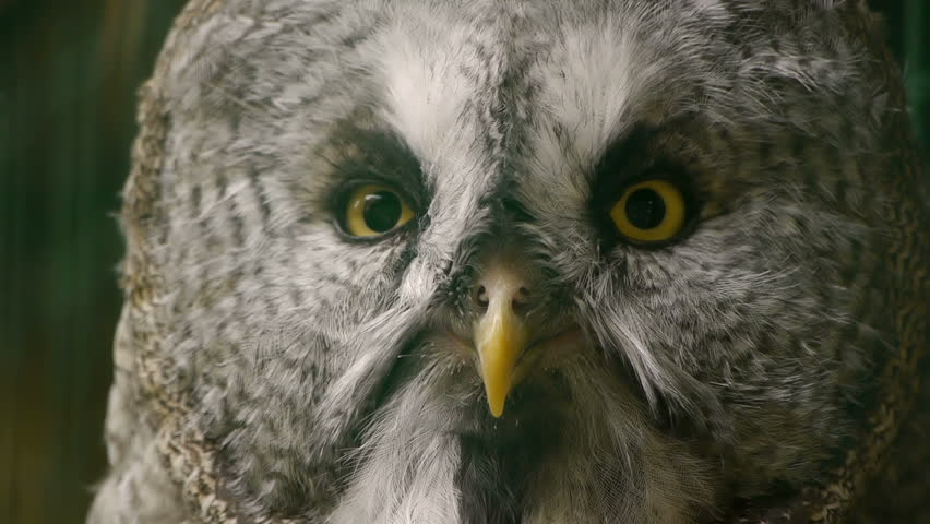 HD - Eagle-owl