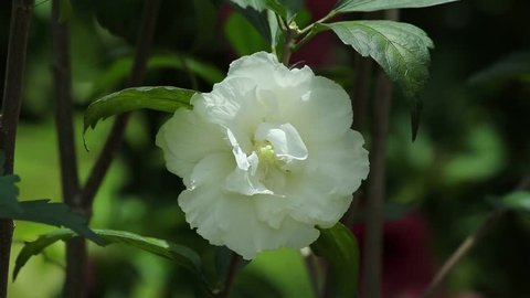 Camellia (Cornish Snow, Silver Dollar, White Flowers, Asian More petals Flower) with Blank Space, Champasak, Laos, 3 June 2017, 1080p HD Video, Footage Clip