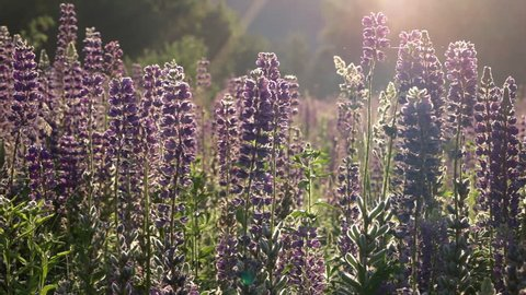 Close-Up Purple Lupine in Bloom at the Sunrise Mountains Landscape, Steadicam Shot. Lupinus, Commonly Known as Lupin or Lupine is Genus of Flowering Plants in Legume Family, Fabaceae.