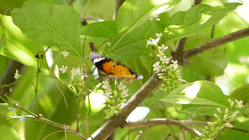 The orange color butterfly like to search for nectar on the Buddleja paniculata tree or Rachavadee in Thailand | Shutterstock HD Video #27657169