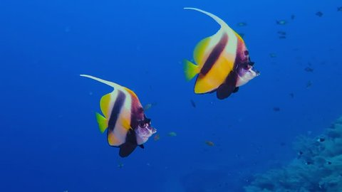 Colorful exotic butterfly fishes underwater on the tropical coral reef. Snorkeling with the tropical fish on the coral reef. Scuba diving adventure in the deep ocean with marine wildlife..