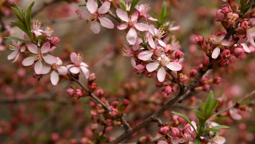 Spring blossom background. Beautiful nature scene with blooming tree | Shutterstock HD Video #27749320