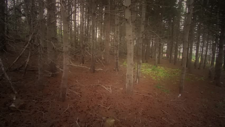 Moving through thick pine trees in the forest