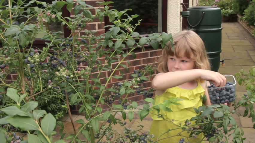9 Year Old Caucasian Girl In Summer Dress Picks Blueberries From Bush On  Garden Patio