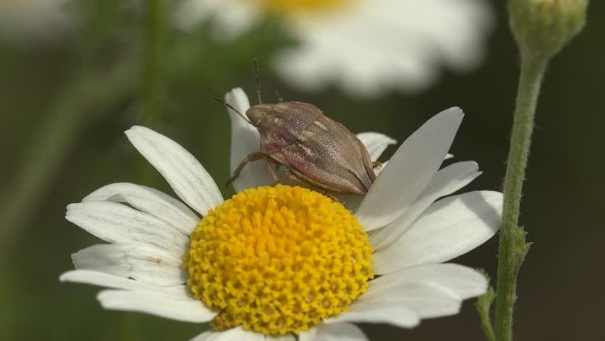 Header of Aelia acuminata