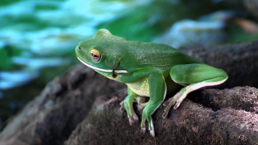 White tip tree frog Australia.