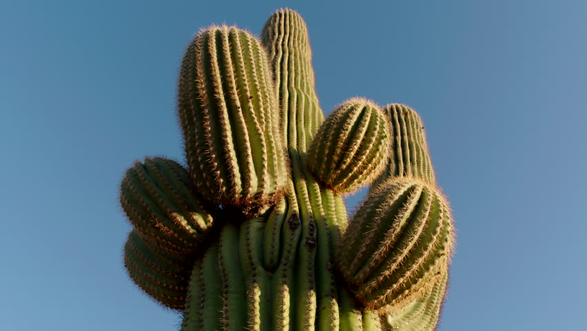 Saguaro cactus close-up - camera tilts up in Sonoran desert