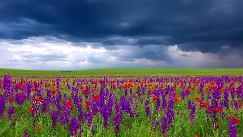 Field Of Flowers And The Stock Footage Video 100 Royalty Free