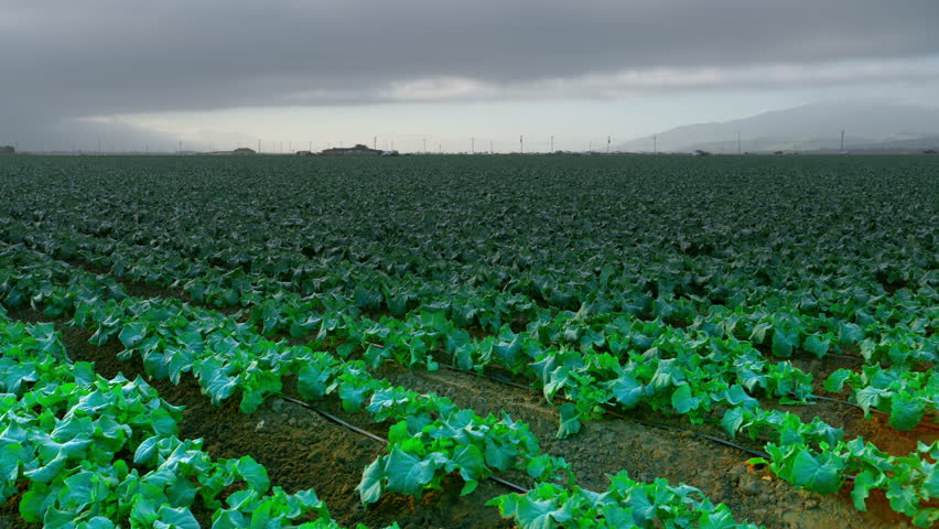 Farmland with rows of fresh green lettuce growing in dark rich soil with dramatic sky. 4K