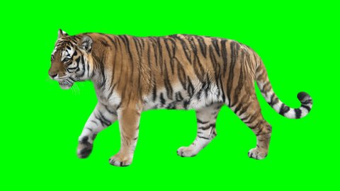 tiger stock video footage 4k and hd video clips