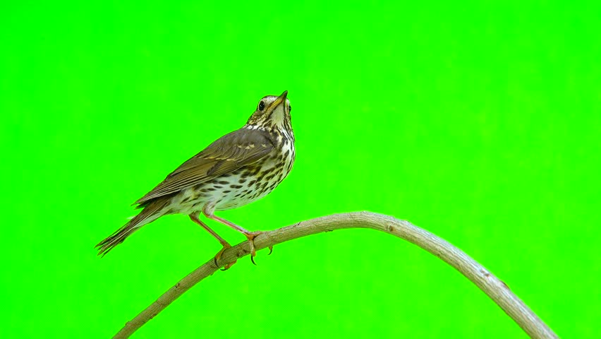 Song Thrush (Turdus philomelos) isolated on a green background #28111540