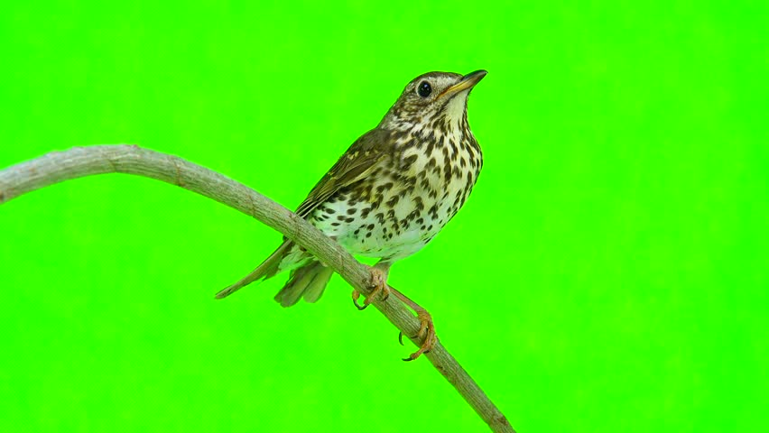 Song Thrush (Turdus philomelos) isolated on a green background #28111570