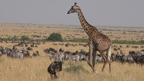 Giraffe walking through herds of wildebeest during the Great migration in the Masai mara