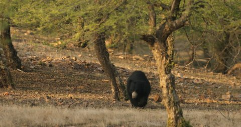 Wild sloth bear, Melursus ursinus, in the forest Ranthambore National Park, Sawai Madhopur, India. Sloth bear walking directly at camera, wildlife photo. Wildlife Asia, wild dangerous animal.