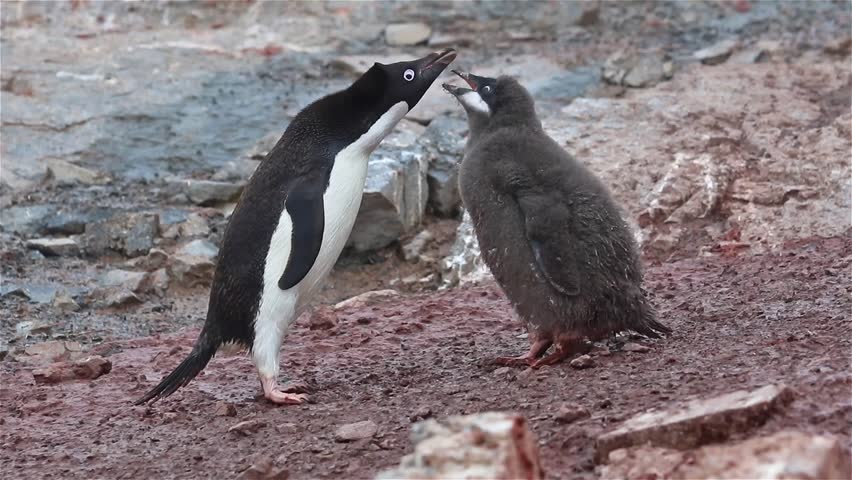 Adelie penguin feeds the chick