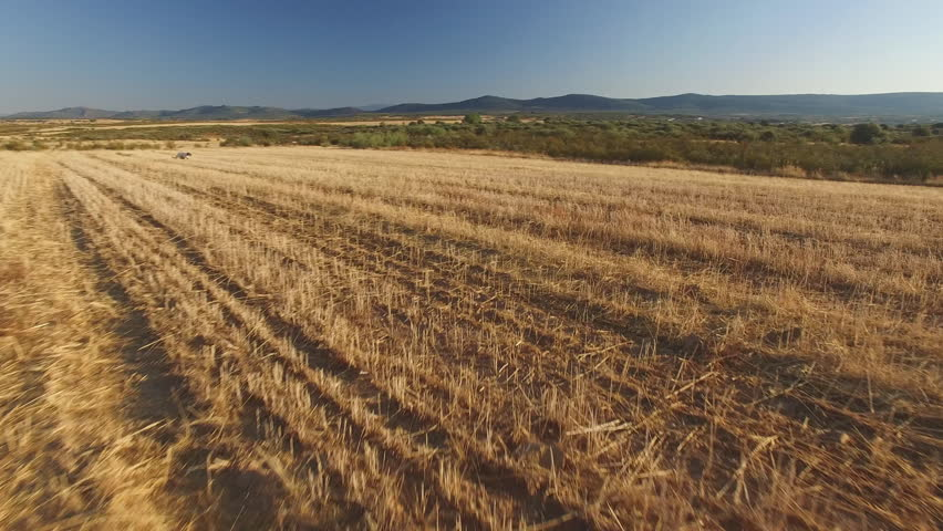 Sliding camera over pointer pedigree dog running over wheat field with strat lines, 4k