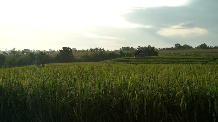 A rice field in Canggu, Bali. | Shutterstock HD Video #28214590