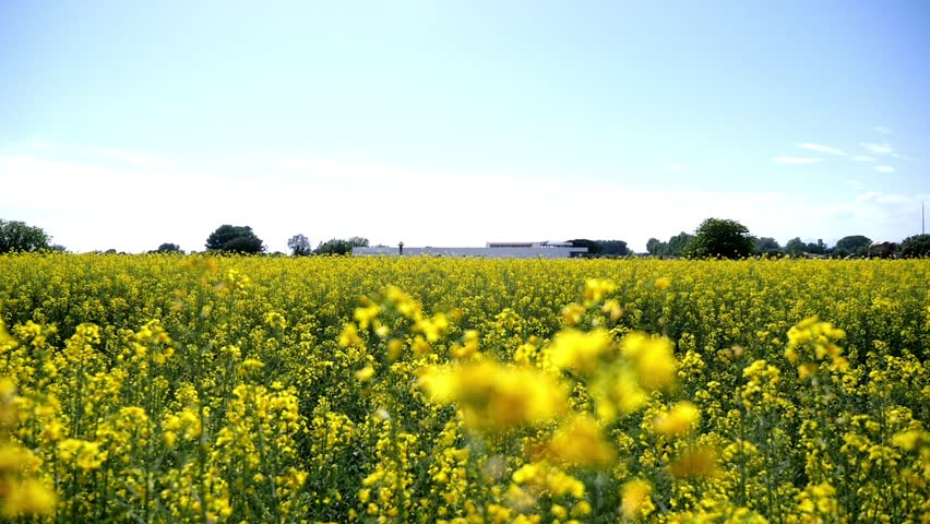Yellow Canola Flowers Field in Stock Footage Video (100% ...