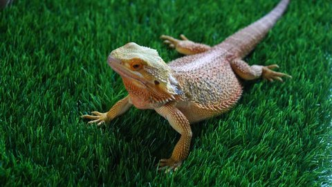 Bearded dragon/Australian lizard.