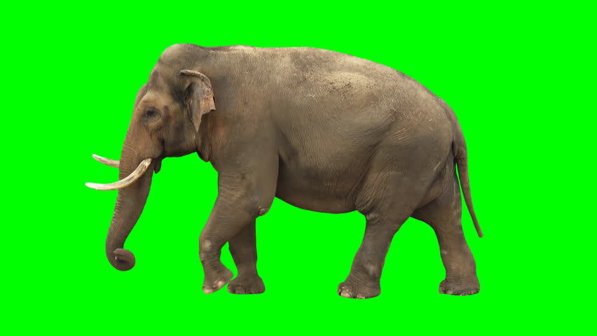 Indian elephant slowly walking seamlessly looped on green screen, real shot, isolated with chroma key, perfect for digital composition, cinema, 3d mapping