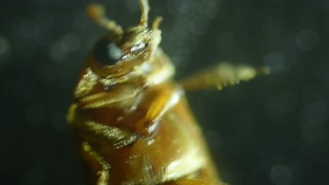 Common bed bug Cimex lectularius underside - permanent slide plate under high magnification.