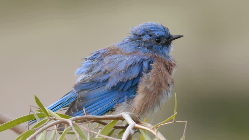 Male Blue Bird Drying after Bath