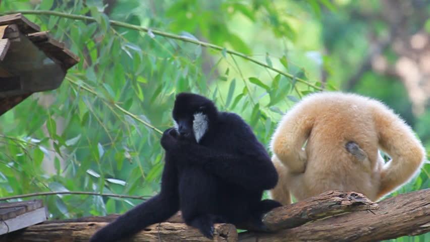Family White Cheeked Gibbon or Lar Gibbon | Shutterstock HD Video #2832919