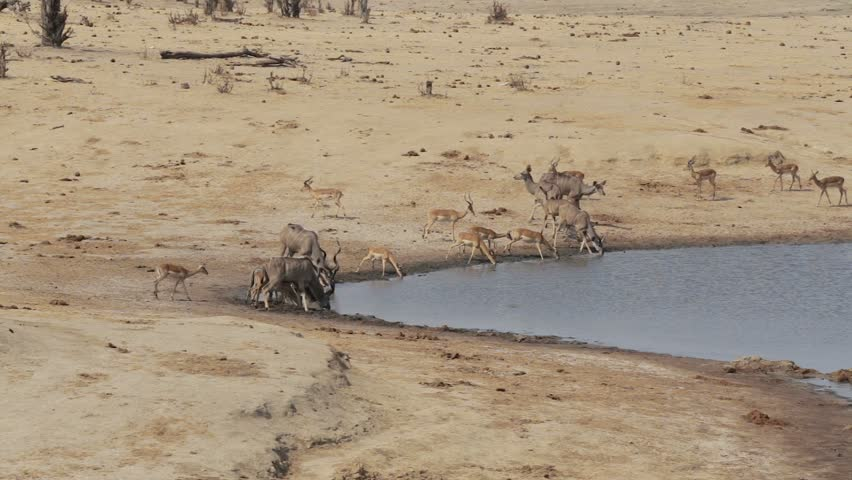 unsuccessful crocodile attack on antelope kudu and Impala, Hwange national park, Matabeleland, North Zimbabwe. Wildlife safari