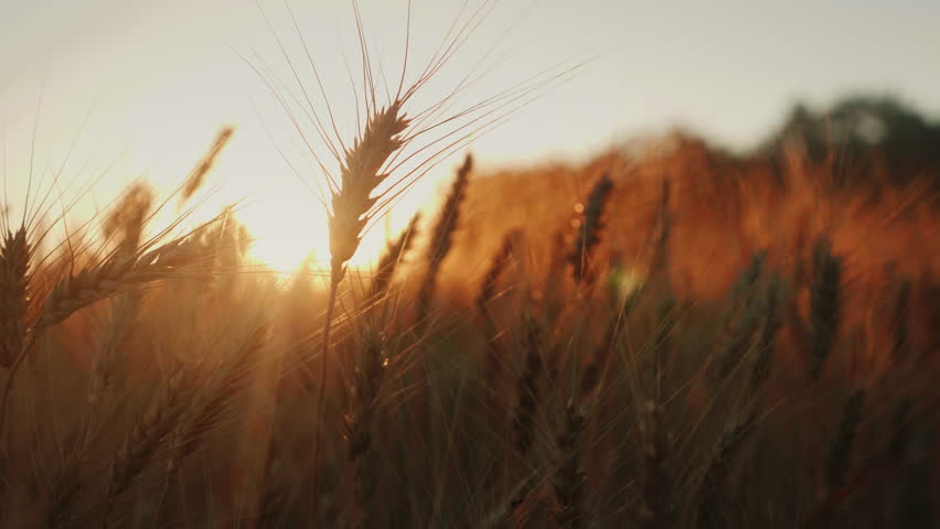 Spikelets of wheat at sunset. Sway in the wind, slow motion video