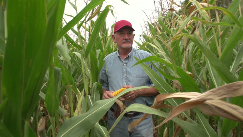 Corn farmer walking through his field towards camera