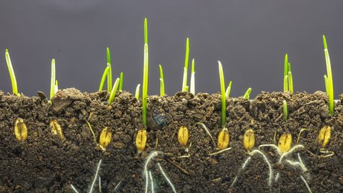 macro timelapse video of a grain seed growing from the ground in soil, underground and overground view/Wheat plant growing from soil time lapse