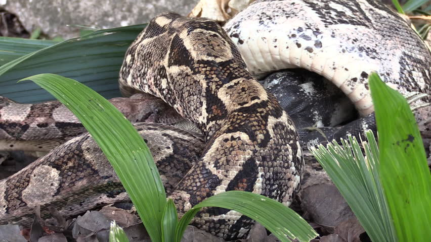 2010s: Extreme close up of a python eating an iguana whole.