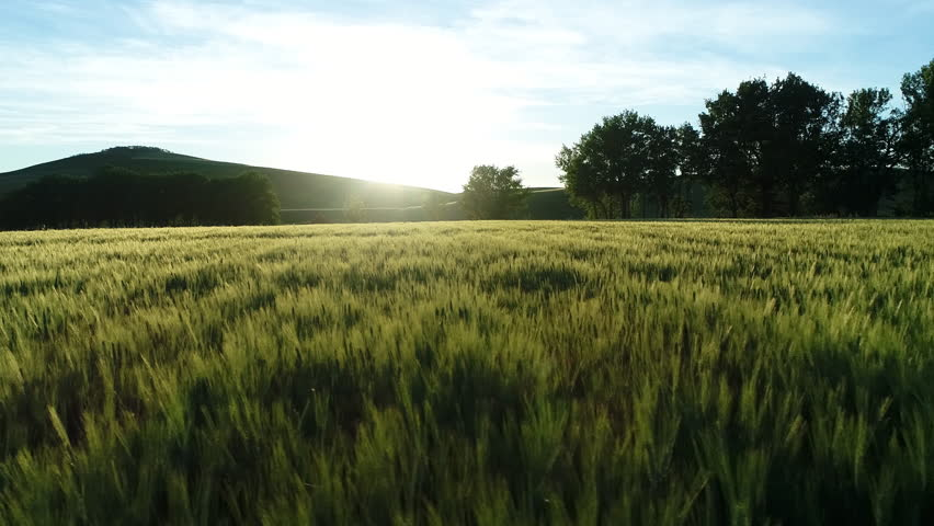 Aerial - Low flight above the wheat field in Tuscany at sunset | Shutterstock HD Video #28531480