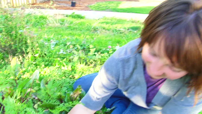 Woman picks many organic carrots from home garden.