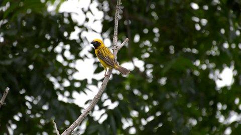 Pine Warbler (Setophaga pinus) on branch tree in nature garden