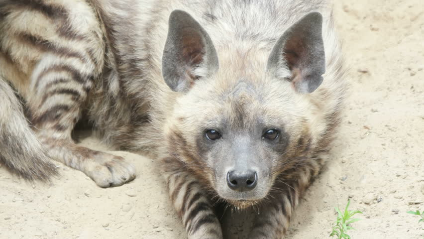 Funny Striped Hyena Staring Intently Stock Footage Video (100%  Royalty-free) 28654000 | Shutterstock