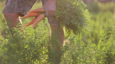 The farmer is picking and holding a biological product of carrots, hands and carrots soiled with earth. Close-up of carrots bunch with crop part body.