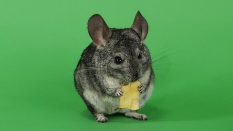 Gray chinchilla eating piece of apple sitting on hind legs