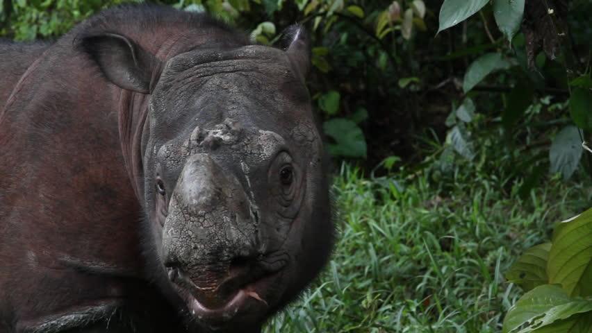Tamtam the Sabah Rhino | Shutterstock HD Video #28793500