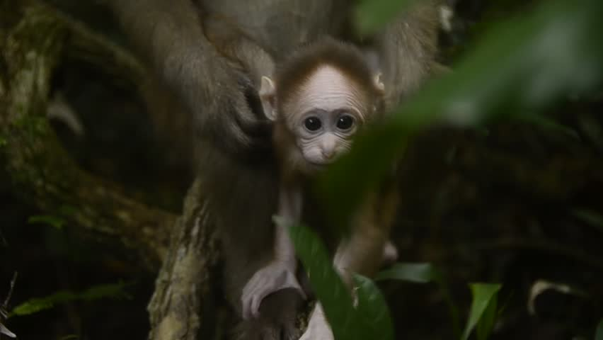 Life of Assam macaque