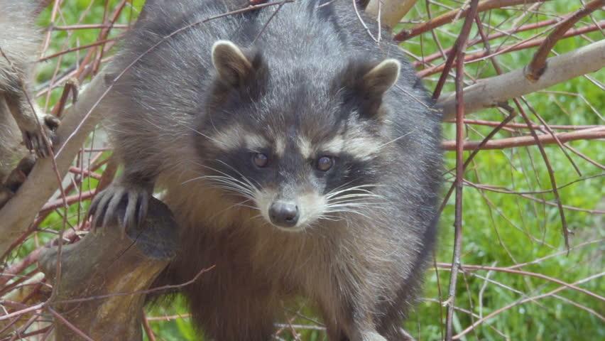Raccoon. Wild North American raccoon looks at camera. raccoon (procyon lotor) climbing a tree .