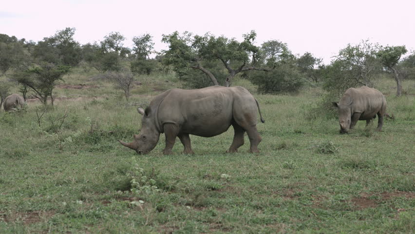 Rhino bull eating and following female marks his territory by urinating.