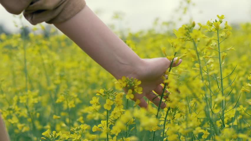 Female hand touches yellow flowers in nature close up. Woman touching beautiful yellow flowers on field slow motion. Summer meadow flowers on a meadow | Shutterstock HD Video #28920475