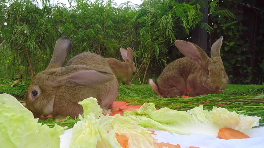 Young Flemish Giant Rabbit In Stock Footage Video 100 Royalty Free 28953250 Shutterstock