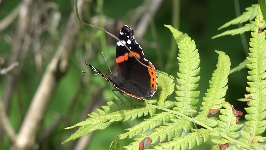 Butterfly red admiral on fern | Shutterstock HD Video #28995580