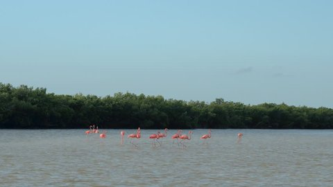 A group of stunning pink flamingos searching for food in shallow water in overgrown mangrove swamp in sunny Rio Lagartos lagoon, Mexico. Wild flamingoes wading in a muddy river estuary eating algae