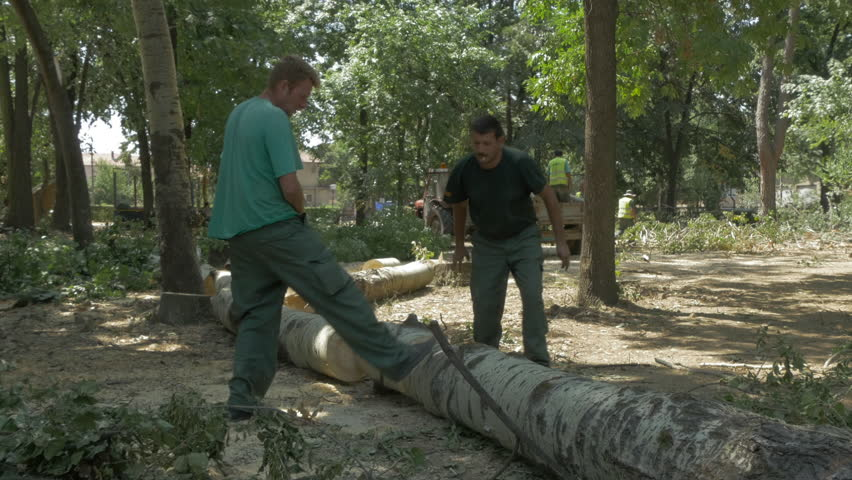 Group of male logger using chainsaws and cutting felled trees