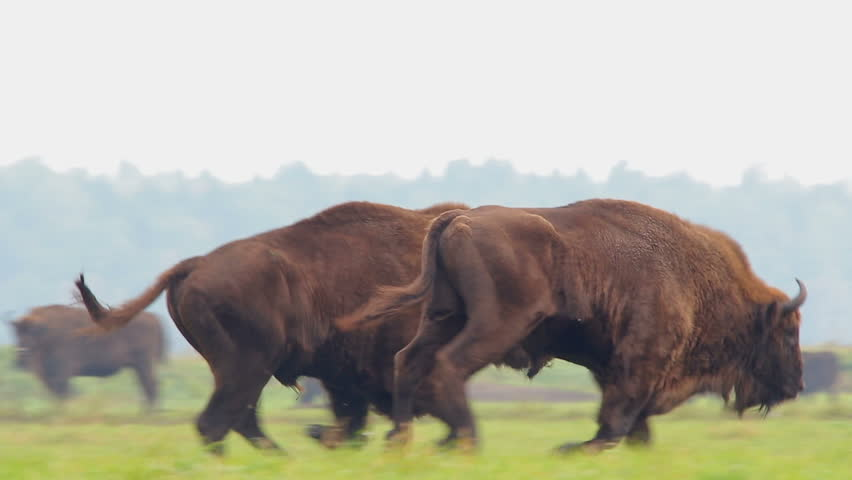 European bison. Running herd.
